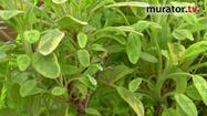 Zioła w ogrodzie - szałwia lekarska