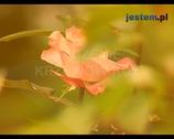 Róże w ogrodzie - sadzenie róż