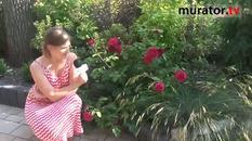 Róża angielska - William Shakespeare 2000