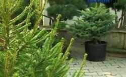 Żywe choinki - jak kupić najpiękniejsze drzewko?