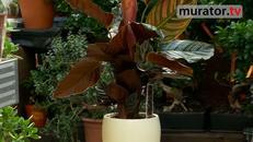 Kwiaty doniczkowe: kalatea