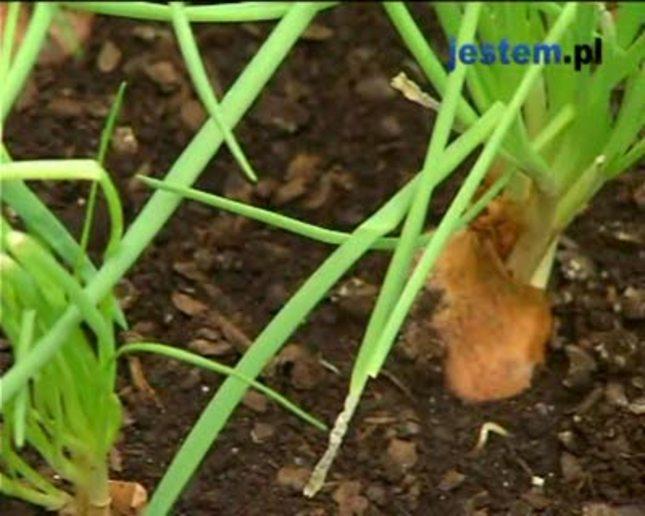Uprawa cebuli i pietruszki domowym sposobem