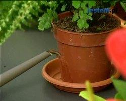 Jak podlewać rośliny doniczkowe zimą: wideo poradnik