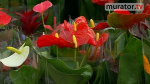 Kwiaty doniczkowe: anturium