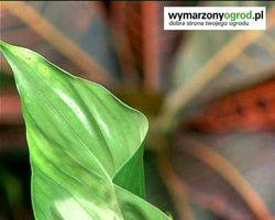 Jak czyścić liście roślin doniczkowych: wideo