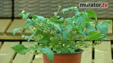 Słodkie  zioła - stewia i ziele azteków